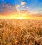 Wheat fields at the early morning Royalty Free Stock Photography