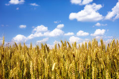 Wheat fields. Wheat field under the sky Royalty Free Stock Photo
