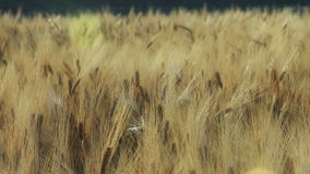 Wheat fields forever stock footage