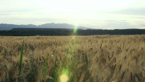 Wheat fields forever stock video
