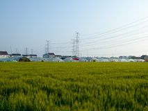 Wheat fields in front of plastic covered greenhouses Stock Photography