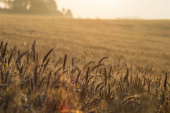Wheat fields. The gold fields near to mexico city whit a beatiful landscape Stock Photos