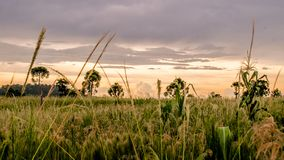 Wheat Fields during Golden Hour Royalty Free Stock Photography