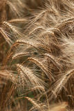 Wheat fields Stock Image