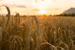 Wheat fields Royalty Free Stock Photos