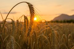 Wheat fields. Golden wheat fields at sunset Stock Images