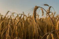 Wheat fields Stock Image