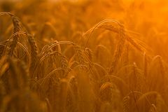 Wheat fields Royalty Free Stock Image