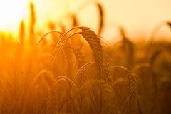 Wheat fields. Golden wheat fields at sunset Stock Photos