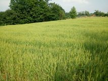 Wheat fields green royalty free stock images