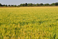 Wheat fields in gujrat india Stock Images