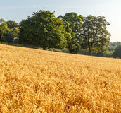 Wheat fields at harvest time, lit by early morning sun. Stock Images