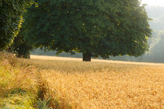 Wheat fields at harvest time, lit by early morning sun. Stock Photos