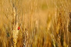 Wheat fields in Italy Stock Image