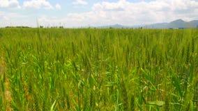 Wheat fields, june 2016, Turkey. Wheat fields, june 2016, HD 1080 stock video footage