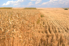 Wheat fields - landscape. Wheat was removed from some wheat fields stock photo