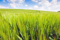 Wheat fields landscape. In English countryside Royalty Free Stock Photo