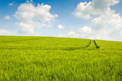 Wheat fields landscape. In English countryside Stock Photography
