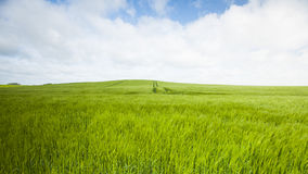 Wheat fields Stock Photography