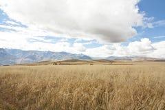 Wheat fields. Large wheat fields near Cuzco, Peru Stock Images