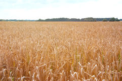 Wheat fields in the middle of the day Stock Image