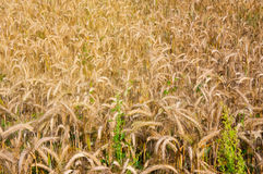 Wheat fields in the middle of the day Royalty Free Stock Images