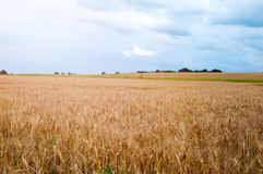 Wheat fields in the middle of the day Stock Photo