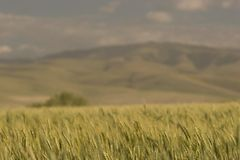 Wheat Fields, near Pendleton. Photo of a wheat field, near Pendleton, Oregon stock image