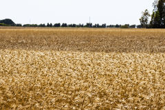 Wheat fields Stock Photo