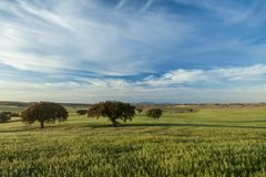 wheat fields in the pasture stock images