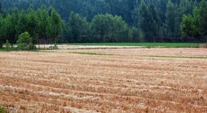 Wheat fields and poplar woods Royalty Free Stock Photo