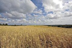 Wheat in the fields of Portugal Stock Photo
