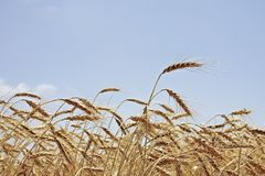 Wheat in the fields of Portugal Royalty Free Stock Photo