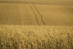 Wheat fields ready for harvest, Washington State Stock Photo