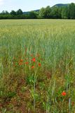 Wheat fields with red poppies. A scenic landscape photograph showing a green beautiful wheat or corn field of tall wheat plants, with some bright red poppy Royalty Free Stock Photography