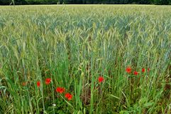 Wheat fields with red poppies. A scenic landscape photograph showing a green beautiful wheat or corn field of tall wheat plants, with some bright red poppy Royalty Free Stock Image