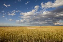 fields of wheat and skies royalty free stock image