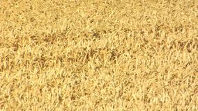 Wheat fields in the sun stock footage
