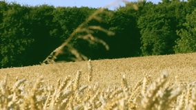 Wheat fields in the sun stock video footage