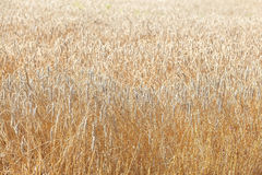 The wheat fields Stock Image