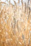 The wheat fields Stock Photo