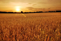 Wheat fields at sunset. Field of wheat at sunset stock photo