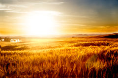 Wheat fields and sunset landscape. Wheat fields landscape. Agriculture concept Royalty Free Stock Image