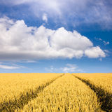 Wheat fields towards the clouds at sunny day Stock Photography