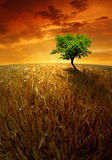 Wheat fields with tree. Red sunset over the golden wheat fields Stock Photography