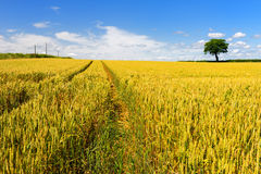 Wheat fields with tree Royalty Free Stock Image