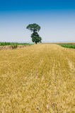The wheat fields and trees Royalty Free Stock Image