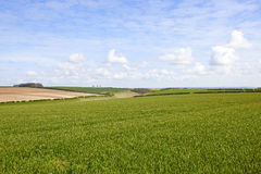 Wheat fields and vale of york. Wheat fields hedgerows and chalky soil with a view of the vale of york under a blue cloudy sky in springtime Stock Images