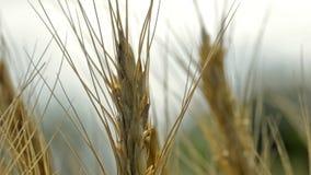 Wheat fields stock video