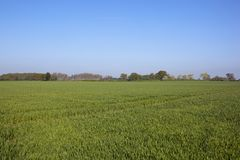 Wheat fields and woodland of the vale of York in springtime. Green wheat fields in Springtime near Naburn York with poplar trees and woodland under a blue sky Royalty Free Stock Photography